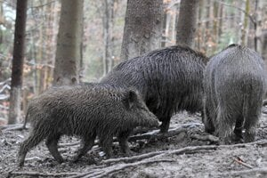 Vyzvali poľovníkov na zvýšený lov diviačej zveri.