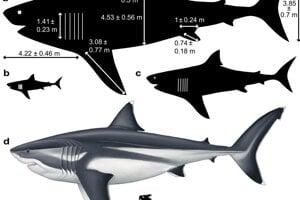 Porovnanie rozmerov celého megalodona s človekom.