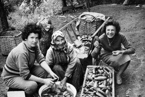 Príprava známych sásovských uhoriek na trh.