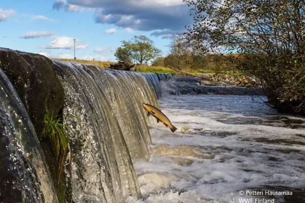 Pstruh má problém prekonať prekážku na rieke. Nevhodné úpravy a bariéry na riekach ohrozujú populácie migrujúcich rýb.