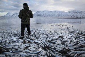 Nedostatok kyslíka vo vode, čo je jedným z dôsledkov klimatických zmien, spôsobil aj úhyn desiatok tisíc ton sleďovitých rýb v islandských fjordoch.