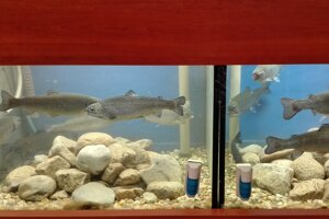 Pstruhy ako bioindikátor. V jednom akváriu je voda pred úpravou, v druhom po nej.