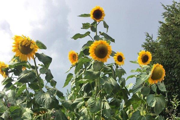 Vysoká slnečnica teší okoloidúcich.