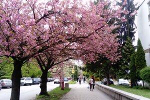 Sakurová aleja rastie v Leviciach už polstoročie. V polovici novembra vysadili ďalšie stromy.