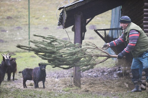 Na nepredaných stromčekoch si pochutili aj kozy kamerunské.