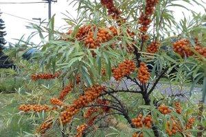 Rastlina rakytníka rešetliakového má širokospektrálne účinky.