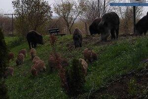 Na Muškáte v Pezinku sa premáva rodinka divých svíň.