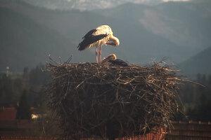 Živé prenosy z bocianieho hniezda v Pribyline sledujú ľudia z celého sveta.