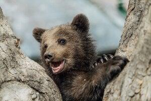 Osirelé medvieďa z Polonín prežilo a je vo veľmi dobrej fyzickej kondícii.
