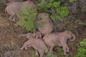 Zo slonov sa za posledné týždne stali mediálne hviezdy. Na záber zo 7. júna si pospali neďaleko mesta Kchun-ming.