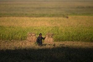 Indický roľník na ryžovom poli.