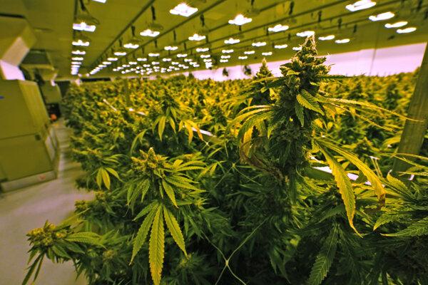 Legálne pestovaná marihuana na medicínske účely vo Virginii.