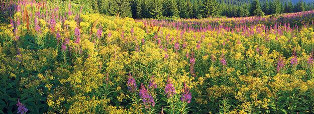 Kyprina alebo vŕbovka úzkolistá je tiež pionierska rastlina, ktorá pokrýva pôdu po lesných požiaroch a kalamitách. Po víchrici v roku 2004 práve vŕbovka zarástla Tatry a premenila smrekové lesy na ružové pláne.