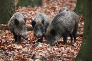 Africký mor ošípaných ohrozuje diviačiu zver aj v okrese Poprad.