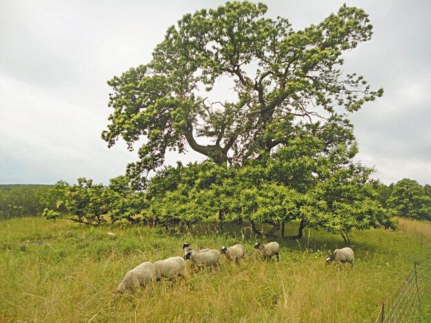 Extenzívna pastva a tradičné kosenie je najvhodnejší spôsob, ako zachovať gaštanový pasienok.