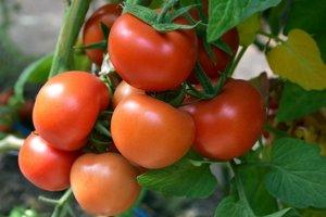 Dovážané paradajky sa zbierajú ešte zelené.