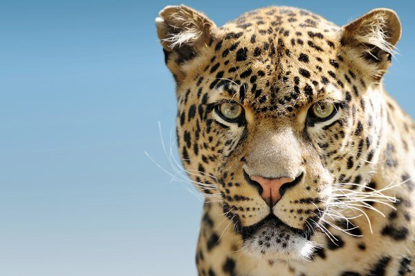 Pred päťdesiatimi rokmi žilo v Afrike 700-tisíc leopardov. Dnes ich je okolo 50-tisíc.