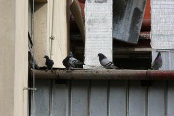 Plánovaný odchyt holubov v Trnave zatiaľ nebude.