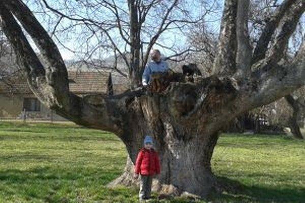 Staré stromy potrebujú ochranu