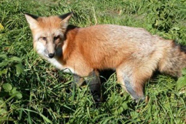Líšky sú plaché a bystré zvieratá.