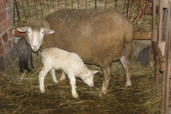 Ovečky chová krčmár na konci sveta dva roky