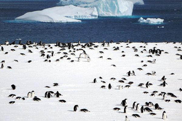 V rámci projektu PenguinWatch 2.0 pomôžete vedcom spočítať aj antarktickú kolóniu tučniaka oslieho.