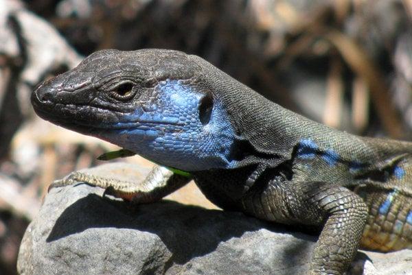 Gallotia Galloti Palmae je súčasným druhom rodu Gallotia, ktorý je endemický pre Kanárske ostrovy.