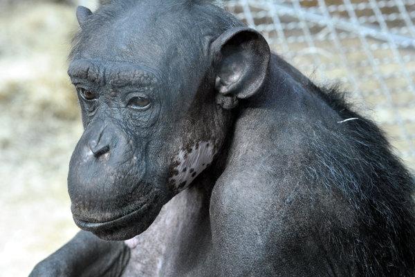 Šimpanz Kongo.