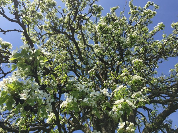 Vzácna bošácka Ružovka je solitérny strom s krásnym habitusom, ktorý zasadili pravdepodobne prví osadníci v tomto kraji.