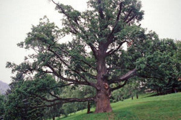O ošetrenie súťaží aj asi 350-ročný dub v Zechenterovej záhrade.