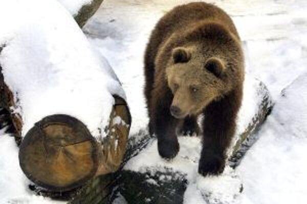 Výkyvy počasia medveďom pokojný zimný spánok nedopriali.