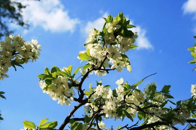 Odrody ovocných stromov na severe Slovenska musia byť odolnejšie. Ovocinári sa preto snažia zachrániť najmä tradičné miestne odrody.