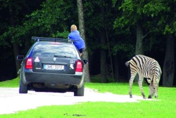 Safari môže byť oveľa zábavnejšie ako obyčajná zoo. V Dvore Králové nad Labem si môžete pozrieť zvieratá zblízka. Niekedy až tak, že zebra zastaví premávku kolóny automobilov alebo vám strčí hlavu do otvoreného okienka.