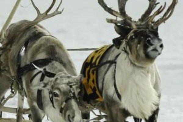 Sob polárny (Rangifer tarandus), v Severnej Amerike nazývaný karibu, je prežúvavec živiaci sa bylinami a lišajníkmi. Parohy majú samec aj samica, na nohách majú široké paznechty, vďaka ktorým sa nezaboria do snehu či do bahna. Dospelý sob váži až 230 kilo
