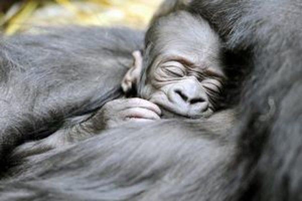 Mláďatko gorily spí v náručí svojej matky.