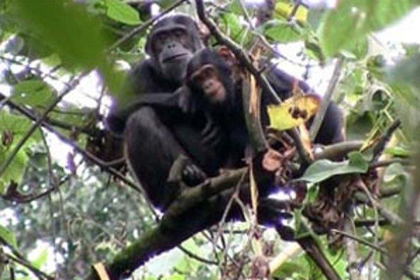 Úrady sa rozhodli vysťahovať ľudí a znova zalesniť polia, čo pomôže ohrozenej populácii šimpanzov.