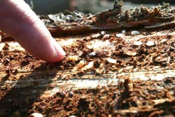 Kto môže za premnoženie lykožrúta? Lesníci a ekologickí aktivisti sa opäť obviňujú.