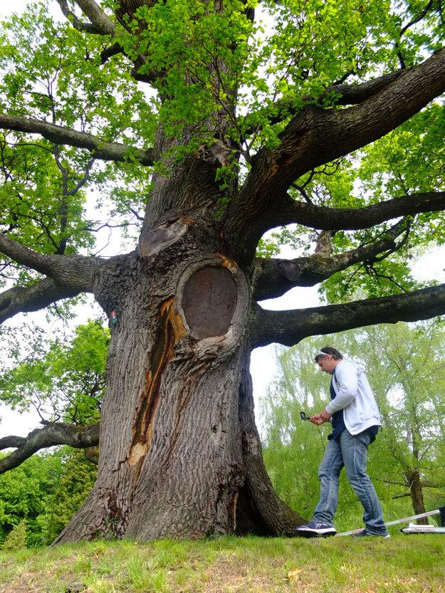 Strom je podľa aktuálnych meraní vysoký 17,5 metra a obvod jeho kmeňa je 560 centimetrov.
