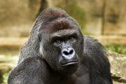 Nížinná gorila Harambe.
