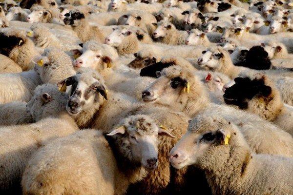 Výrazným problémom aj pri chove oviec sú v poslednej dobe extrémy počasia, konkrétne tohtoročné mimoriadne sucho.