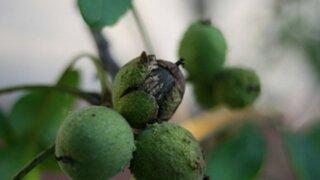Slovenské orechy ničí nový škodca. Úroda sa prepadla, ceny porastú