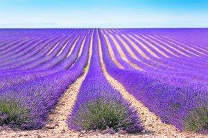 Levanduľa je typická pre Provence vo Francúzsku a okoloidúcim hneď nenapadne, že aj na juhu Slovenska môžu vidieť jej kvet.