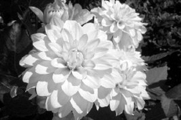 Kvety georgín sú vhodné aj na rezanie a tvorbu kytíc.