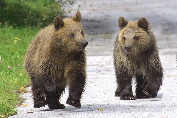 Medvede na ceste. Budeme si zvykať na tento jav?