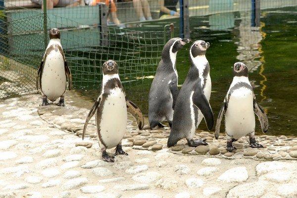 Tučniaky patria k najväčším lákadlám.