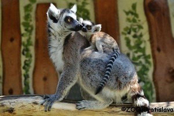 Lemur kata s mláďaťom.