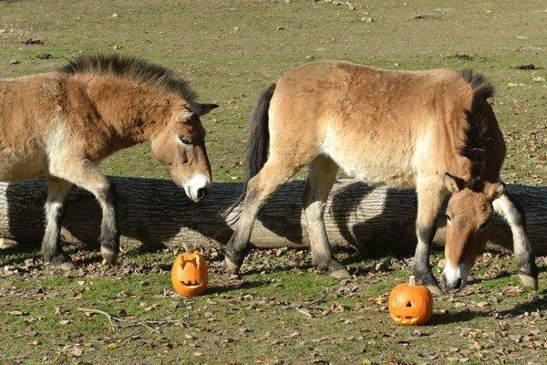 Na snímke netradičné menu ochutnávajú kone Przewalského.