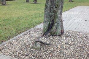 Poškodený strom. Počas rekonštrukcie sa zrejme omylom odrezal jeden koreň, teraz je určený na výrub.