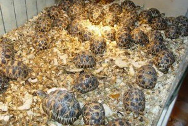 Darček z dovolenky. Ak vám korytnačku zhabú, deti šťastné nebudú.