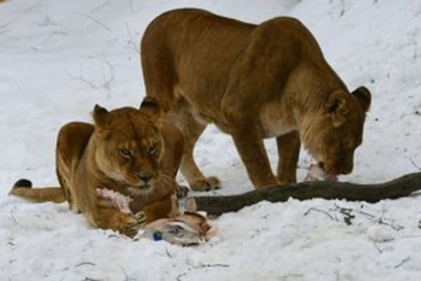 Deti pohľad na levy fascinuje.